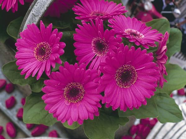 گل ژربرا، خرید گل ژربرا، فروش گل ژربرا ارزان قیمت