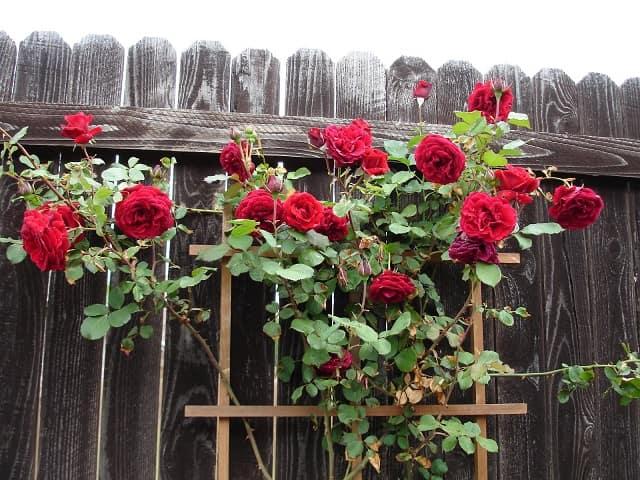 قیمت گل رز، خرید گل رز، سفارش گل رز آنلاین