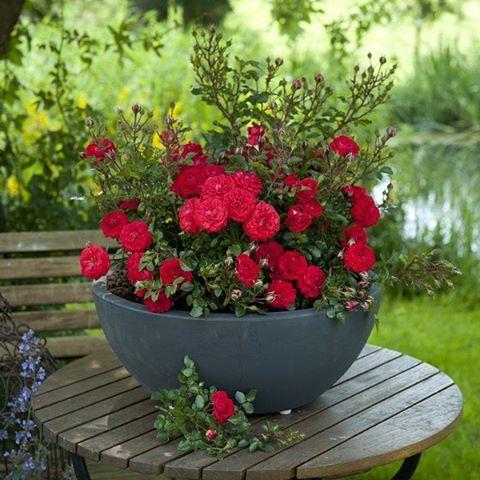 قیمت گل رز، خرید گل رز قرمز، فروش گل رز ارزان