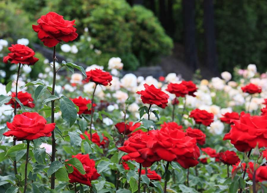 خرید آنلاین گل رز ارزان، قیمت گل رز قرمز و فروش گل رز