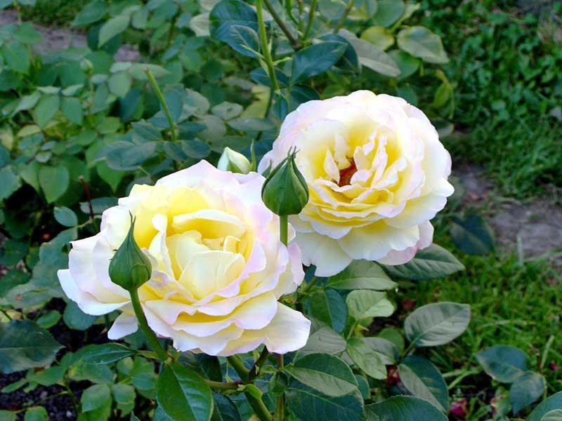 فروش گل رز، قیمت گل رز و خرید آنلاین گل رز
