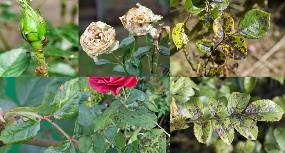 بیماری گل رز، روش نگهداری گل رز، آموزش پرورش گل رز