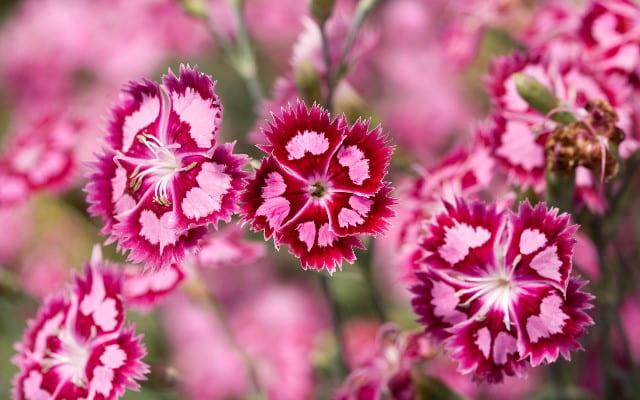 خرید گل میخک، قیمت دسته گل میخک، فروش آنلاین گل میخک ارزان