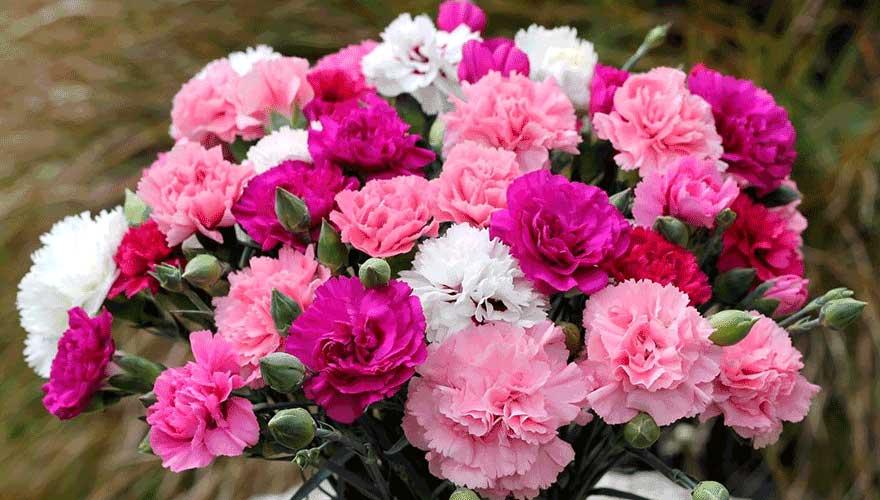 خرید دسته میخک ممتاز، قیمت گل میخک و فروش گل میخک