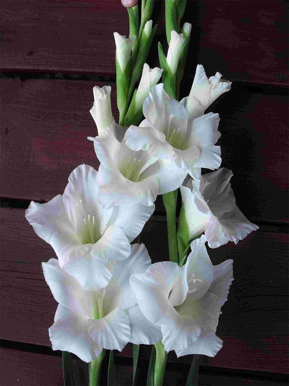 فروش آنلاین گل گلایول، خرید دسته گل گلایول و قیمت گل گلایول ارزان
