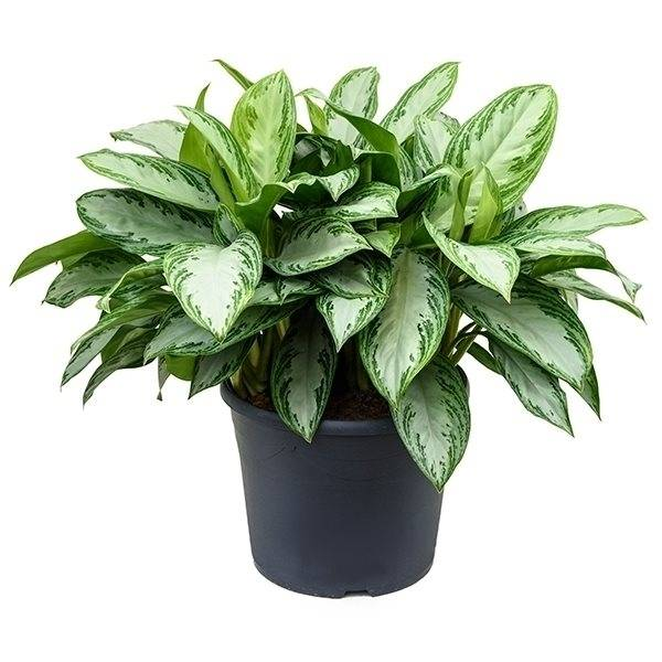 قیمت گل طبیعی آگلونما، خرید آنلاین گیاه آپارتمانی آگلونما، قیمت گل طبیعی ارزان