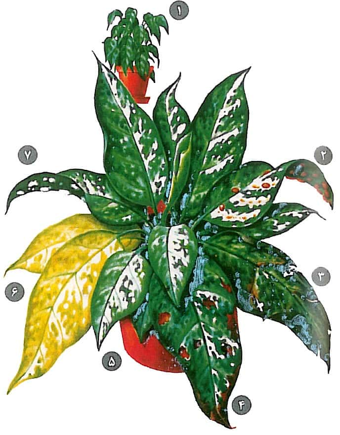 خرید گل طبیعی آگلونما، روش نگهداری گیاه آپارتمانی آگلونما