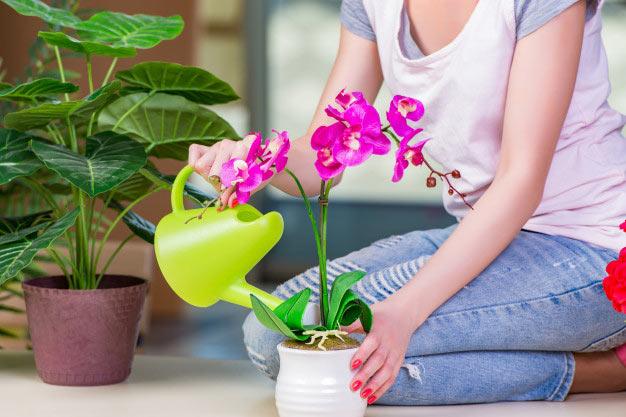 روش نگهداری گل ارکیده گلدانی، آموزش پرورش گل ارکیده گلدانی ،سفارش گل ارکیده فالانوپسیس