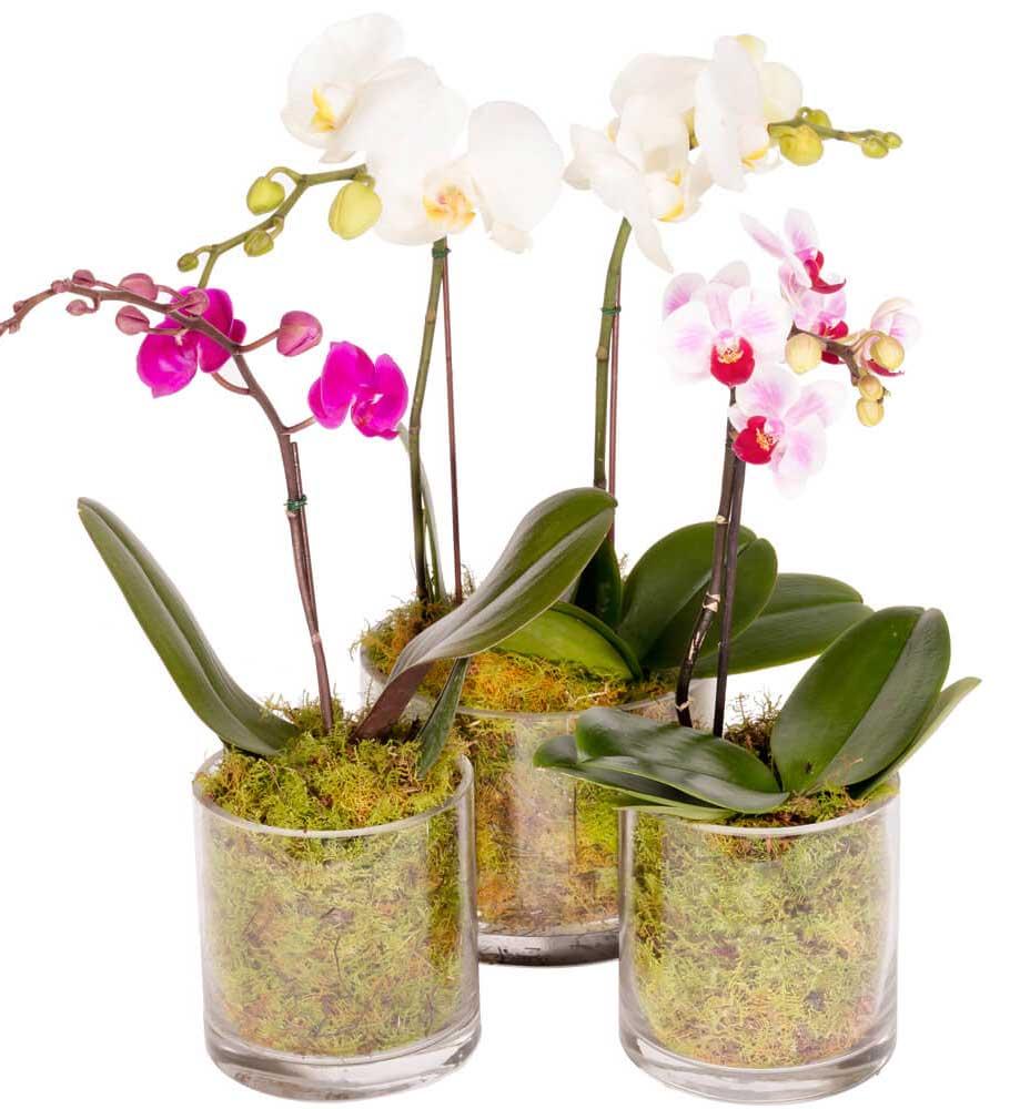 سفارش گل ارکیده گلدانی سفید، خرید گل ارکیده گلدانی لوکس بنفش رنگ