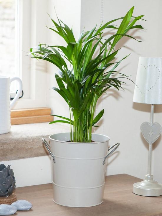 سفارش آنلاین گل طبیعی نخل اریکا، قیمت گیاه آپارتمانی نخل اریکا، فروش اینترنتی گل و گیاه آپارتمانی و گلدانی نخل اریکا