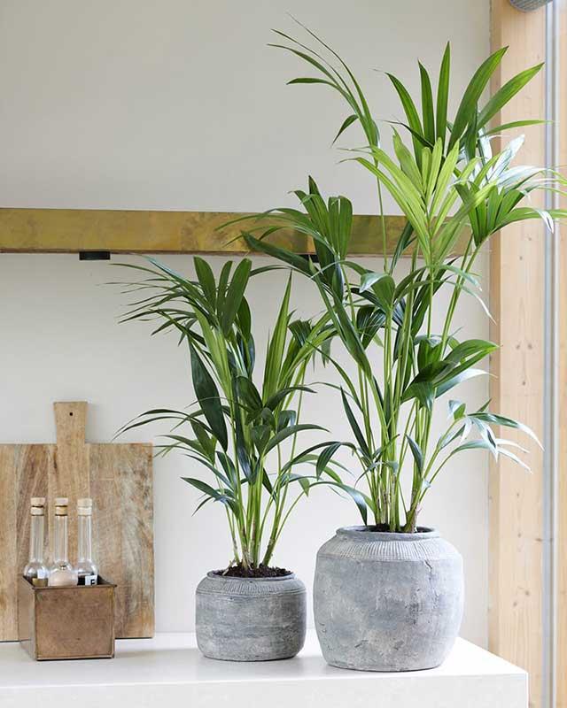 فروش اینترنتی گل طبیعی نخل اریکا، آموزش نگهداری نخل اریکا، قیمت گیاه آپارتمانی نخل اریکا، روش پرورش گل نخل اریکا
