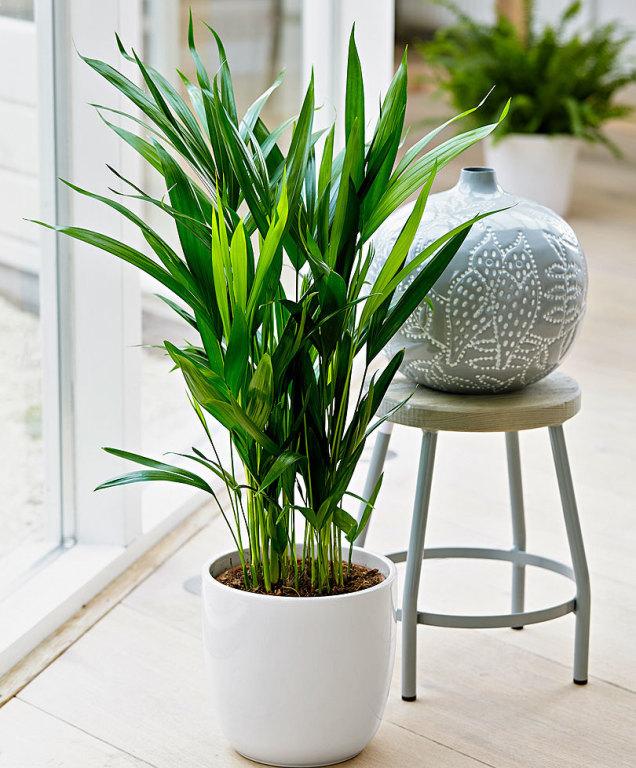 قیمت گل نخل اریکا، سفارش آنلاین گیاه آپارتمانی نخل اریکا، آموزش نگهداری نخل اریکا و روش تکثیر گیاه نخل اریکا