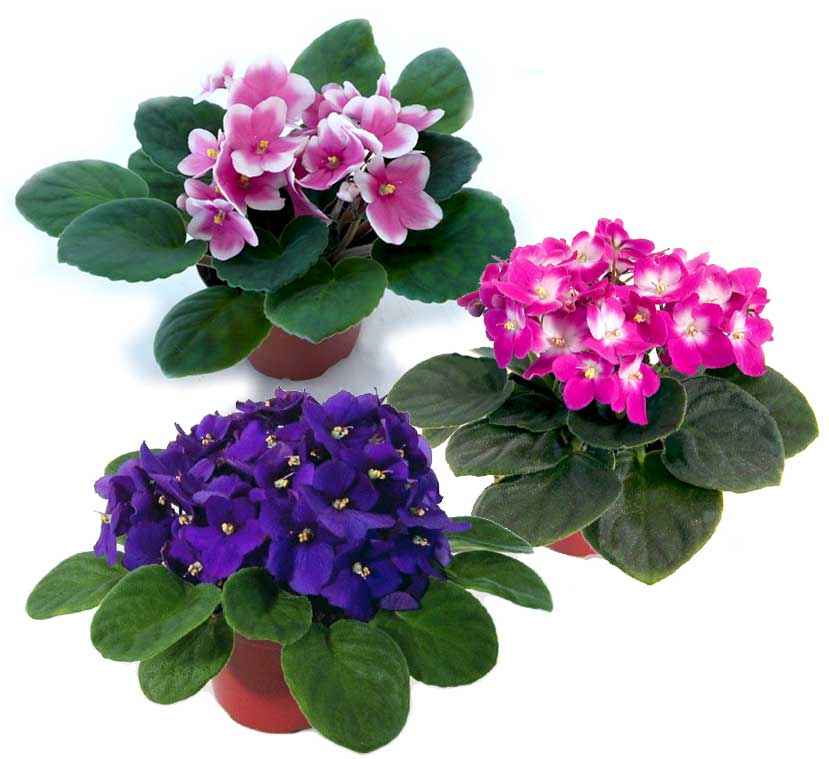 خرید گل آپارتمانی بنفشه آفریقایی بنفش،صورتی و ارغوانی و قیمت گل طبیعی و گیاه آپارتمانی