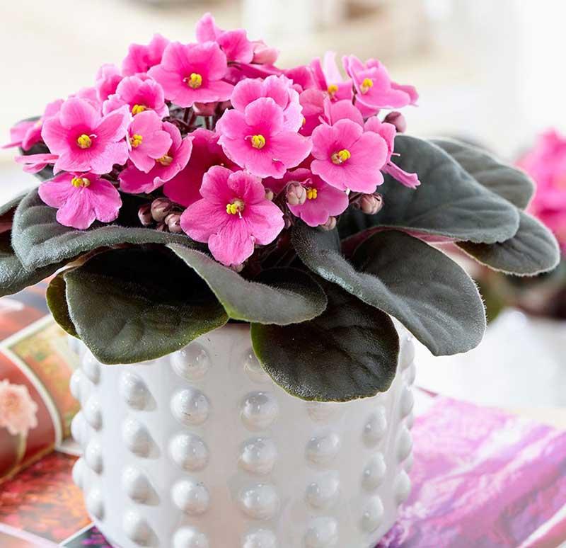 خرید گل بنفشه آفریقایی، قیمت گل بنفشه آفریقایی صورتی ارزان قیمت
