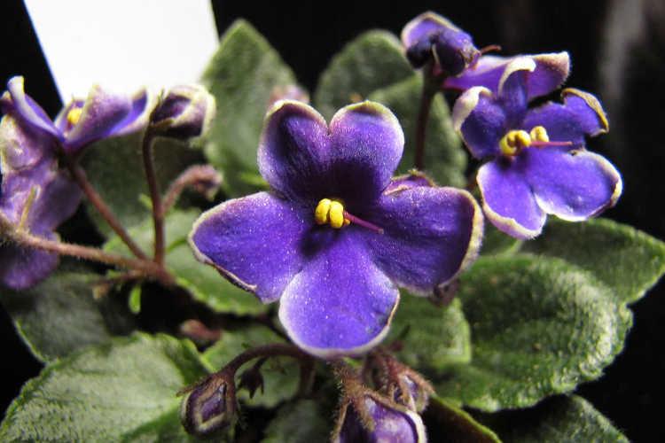 روش نگهداری گل طبیعی بنفشه آفریقایی، آموزش پرورش و درمان بیماری گیاه بنفشه آفریقایی
