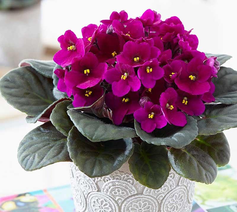 قیمت گل طبیعی بنفشه آفریقایی ارغوانی، خرید گل بنفشه آفریقایی ارزان قیمت
