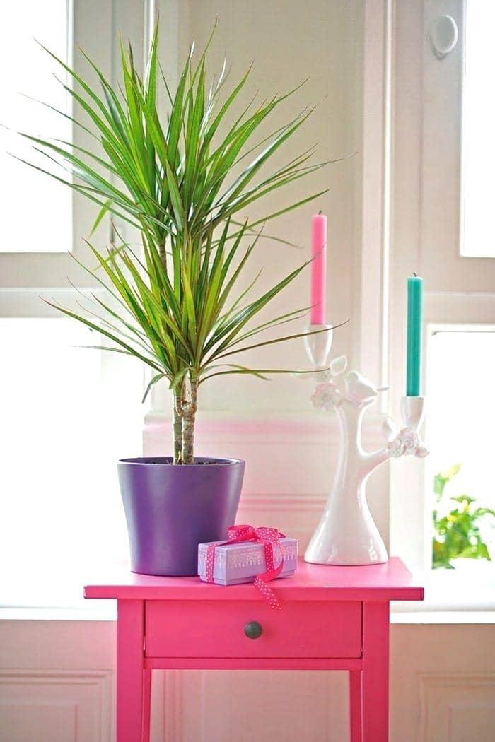قیمت گل دراسنا پرچمی، خرید گیاه دراسنا پرچمی، فروش آنلاین گیاه دراسنا