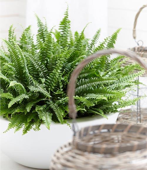 سفارش آنلاین گل طبیعی سرخس، قیمت گیاه آپارتمانی سرخس، روش تکثیر و پرورش گل سرخس، فروش اینترنتی گل طبیعی سرخس