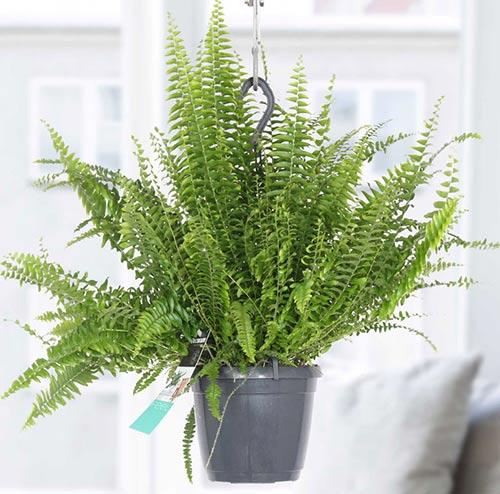 فروش آنلاین گل طبیعی سرخس، قیمت گیاه آپارتمانی سرخس فوژه، روش نگهداری گل و گیاه آپارتمانی سرخس، قیمت گل طبیعی و گیاه آپارتمانی