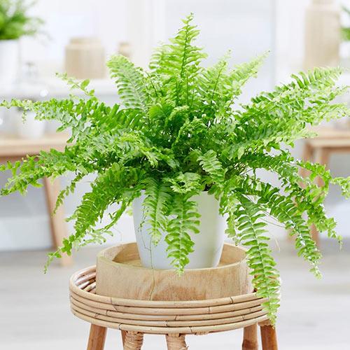 قیمت گل طبیعی سرخس، سفارش آنلاین گیاه آپارتمانی سرخس، خرید گل طبیعی سرخس، روش نگهداری گل و گیاه و گلدان سرخس