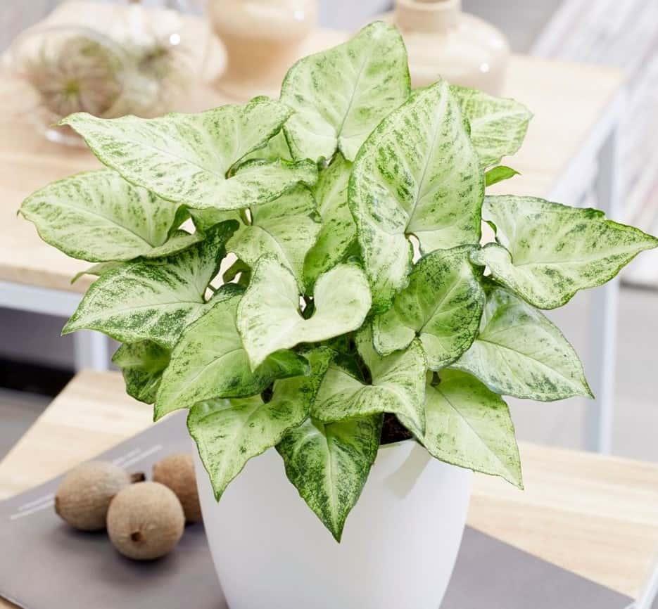 گیاه سینگونیوم، خرید گل سینگونیوم ارزان و قیمت گل و گیاه آپارتمانی