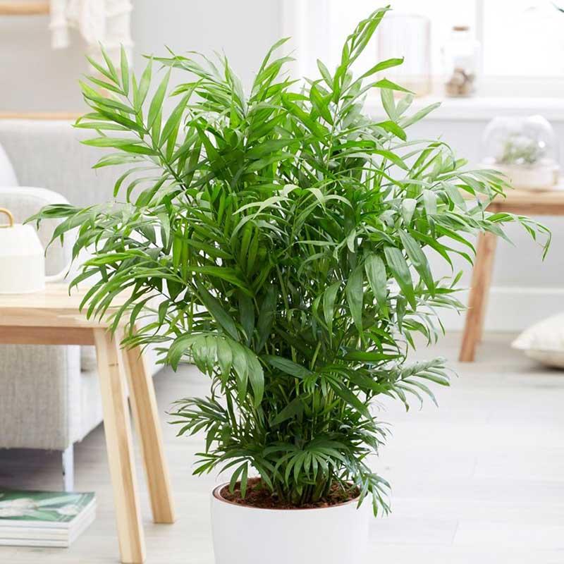 قیمت گل نخل شامادورا، روش نگهداری گیاه آپارتمانی نخل شامادورا(نخل بامبو)، آموزش پرورش گل نخل شامادورا