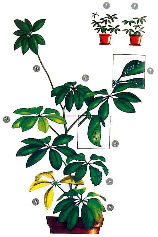 نگهداری گیاه شفلرا، درمان بیماری گیاه شفلرا و خرید گل شفلرا