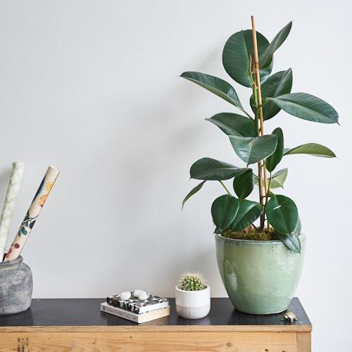سفارش گل طبیعی فیکوس و قیمت گیاه آپارتمانی فیکوس الاستیکا ارزان قیمت در گلفروشی آنلاین گل و گیاه طبیعی پارسی گل