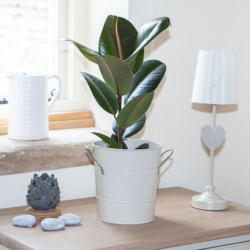 قیمت انواع گل طبیعی و گیاه آپارتمانی فیکوس الاستیکا و فیکوس ابلق همراه با سفارش آنلاین گل طبیعی و خرید گل آنلاین