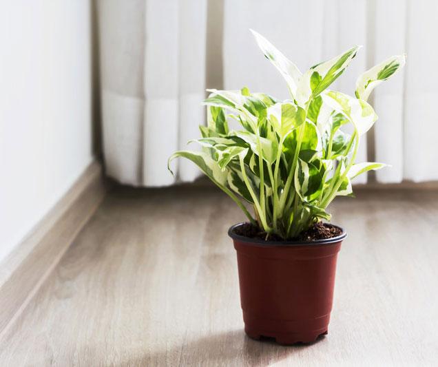 آموزش نگهداری از گل و گیاه آپارتمانی ،خرید گل پتوس و قیمت گیاه پتوس ارزان قیمت