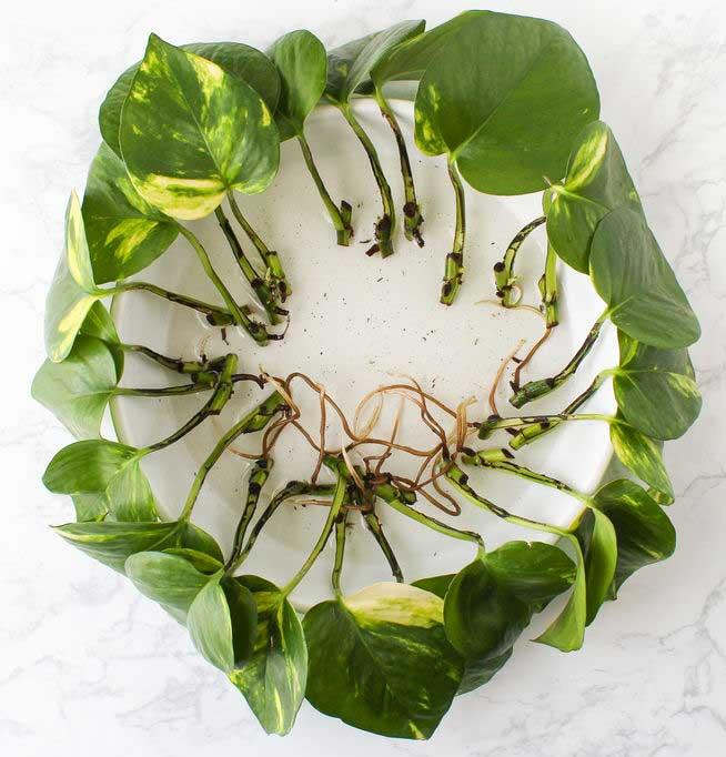 قلمه گل پتوس ابلق، آموزش نگهداری از گل پتوس ابلق آموزش قلمه گیاه پوتوس، روش تکثیر گیاه آپارتمانی پوتوس