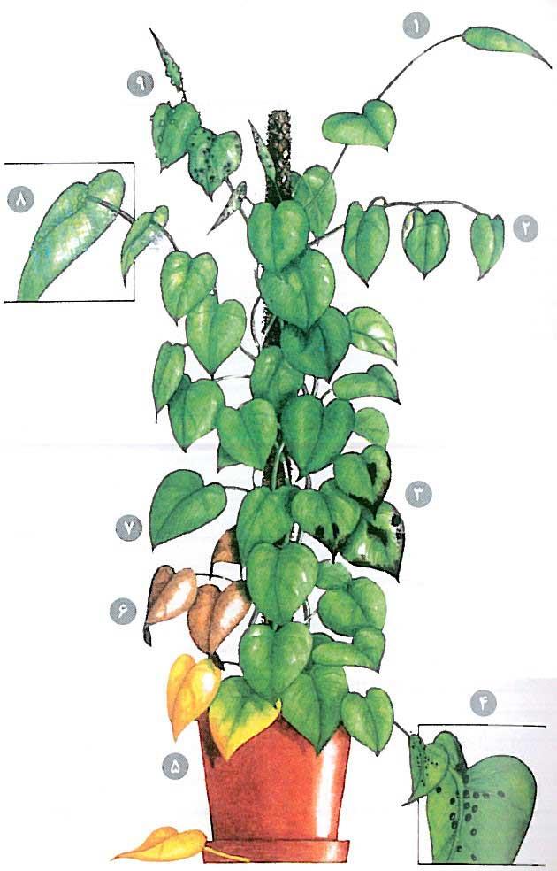آموزش نگهداری از گل پوتوس، روش تکثیر و قلمه گیاه آپارتمانی پتوس، آموزش نگهداری گل و گیاه و درمان بیماری گیاهی