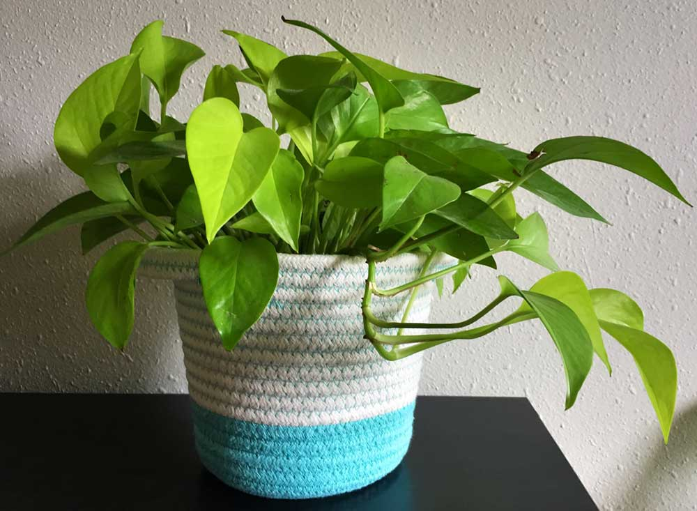 سفارش گل تازه و قیمت گل پوتوس همیشه سبز آویز، ارسال رایگان گل و گیاه آپارتمانی مقاوم و ارزان قیمت