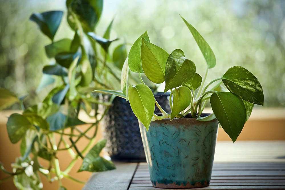گل پتوس، آموزش نگهداری از گل پتوس همیشه سبز، آموزش قلمه گیاه پوتوس، روش تکثیر گیاه آپارتمانی پوتوس