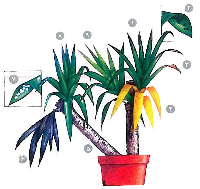 روش نگهداری گل و گیاه آپارتمانی، آموزش نگهداری از گل یوکا و درمان بیماری گیاه یوکا