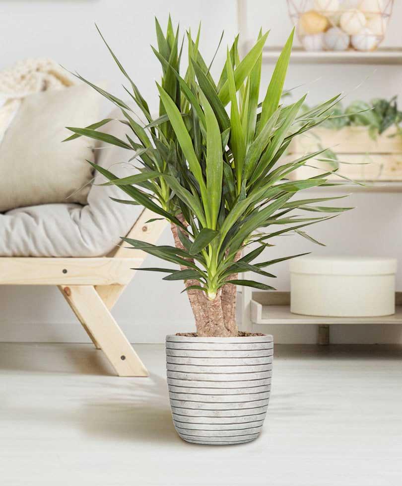 گل یوکا، فروش آنلاین گل یوکا ارزان قیمت و خرید گیاه یوکا به همراه آموزش نگهداری از گیاه یوکا