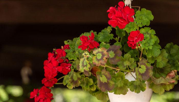 گل شمعدانی نماد چیست؟