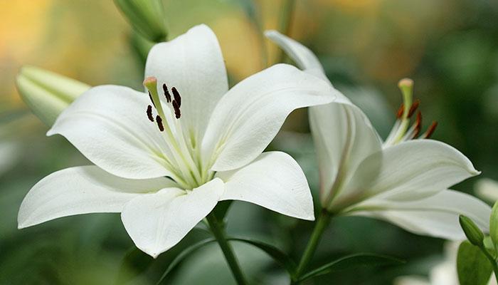 گل لیلیوم نماد چیست؟